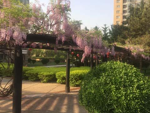 银枫家园花满蹊 千朵万朵压枝低